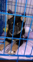Shiba Inu Puppies for sale in St. George, UT, USA. price: NA