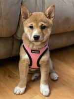 Shiba Inu Puppies for sale in The Bronx, NY, USA. price: NA