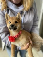 Shiba Inu Puppies for sale in Denver, CO 80203, USA. price: NA