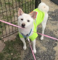 Shiba Inu Puppies for sale in Manchester, NH, USA. price: NA