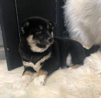 Shiba Inu Puppies for sale in Huachuca City, AZ 85616, USA. price: NA