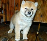 Shiba Inu Puppies for sale in Kentucky Ave, Paterson, NJ 07503, USA. price: NA