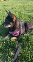 Shiba Inu Puppies for sale in Farmington Hills, MI, USA. price: NA