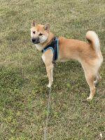 Shiba Inu Puppies for sale in McDonough, GA, USA. price: NA