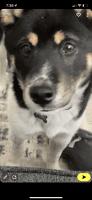 Shiba Inu Puppies for sale in Brea, CA, USA. price: NA