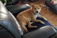 Shiba Inu Puppies for sale in Tempe, AZ, USA. price: NA
