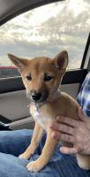 Shiba Inu Puppies for sale in Naperville, IL, USA. price: NA