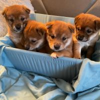 Shiba Inu Puppies for sale in Evergreen Park, IL 60805, USA. price: NA