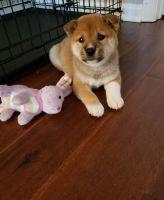 Shiba Inu Puppies for sale in Elk Grove Village, IL 60007, USA. price: NA