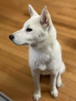 Shiba Inu Puppies for sale in East Orange, NJ 07017, USA. price: NA