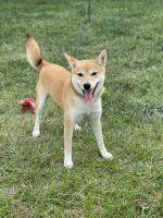 Shiba Inu Puppies for sale in Wichita, KS 67219, USA. price: NA