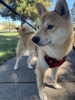 Shiba Inu Puppies for sale in 5490 N Salinas Ave, Fresno, CA 93722, USA. price: NA