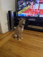Shiba Inu Puppies for sale in Bronx, NY, USA. price: NA