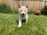 Shiba Inu Puppies for sale in Chicago, IL 60629, USA. price: NA