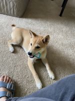 Shiba Inu Puppies for sale in Greer, SC, USA. price: NA