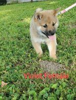 Shiba Inu Puppies for sale in Advance, MO 63730, USA. price: NA