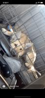 Shiba Inu Puppies for sale in Scottsdale, AZ, USA. price: NA