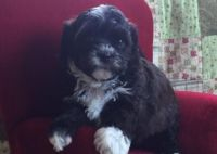 Shih-Poo Puppies for sale in Clayton, DE, USA. price: NA