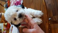 Shih-Poo Puppies for sale in Burr Oak, MI 49030, USA. price: NA