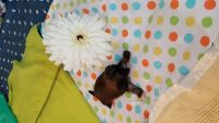 Shih-Poo Puppies for sale in Burgaw, NC 28425, USA. price: NA