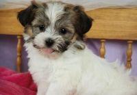 Shih-Poo Puppies for sale in Fairhope, AL 36532, USA. price: NA