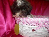 Shih-Poo Puppies for sale in Detroit, MI, USA. price: NA