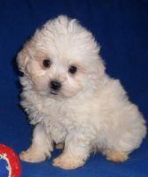Shih-Poo Puppies for sale in Cambridge, MA, USA. price: NA