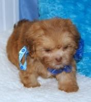 Shih-Poo Puppies for sale in Berkeley, CA, USA. price: NA