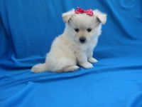 Shih-Poo Puppies for sale in Los Angeles, CA, USA. price: NA
