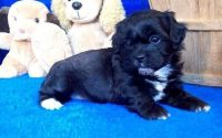 Shih-Poo Puppies for sale in Lakewood, CO, USA. price: NA