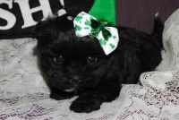 Shih-Poo Puppies for sale in Buffalo, NY, USA. price: NA