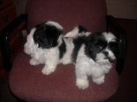 Shih-Poo Puppies for sale in Brooklyn, NY, USA. price: NA