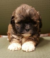 Shih-Poo Puppies for sale in East Los Angeles, CA, USA. price: NA