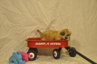 Shih-Poo Puppies for sale in Alton, IL, USA. price: NA