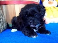 Shih-Poo Puppies for sale in Cobb, CA, USA. price: NA