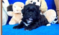 Shih-Poo Puppies for sale in Baywood-Los Osos, CA 93402, USA. price: NA