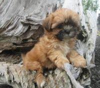 Shih-Poo Puppies for sale in Washington, VA 22747, USA. price: NA