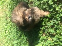 Shih-Poo Puppies for sale in Casstown, OH 45312, USA. price: NA