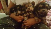 Shih-Poo Puppies for sale in Sauk Village, IL 60411, USA. price: NA