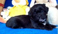 Shih-Poo Puppies for sale in Las Vegas, NV, USA. price: NA