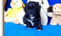Shih-Poo Puppies for sale in Anchorville, MI 48023, USA. price: NA