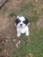 Shih-Poo Puppies for sale in Agua Dulce, CA 91390, USA. price: NA