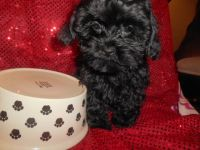 Shih-Poo Puppies for sale in West Bloomfield Township, MI, USA. price: NA
