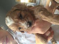 Shih-Poo Puppies for sale in Wichita, KS, USA. price: NA