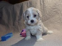 Shih-Poo Puppies for sale in Largo, FL, USA. price: NA