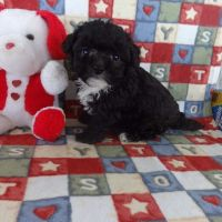 Shih-Poo Puppies for sale in Canton, OH, USA. price: NA