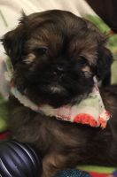 Shih-Poo Puppies for sale in Chillicothe, OH 45601, USA. price: NA