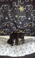 Shih-Poo Puppies for sale in Chicago, IL 60608, USA. price: NA