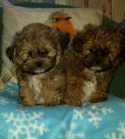 Shih-Poo Puppies for sale in Chicago, IL, USA. price: NA