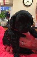 Shih-Poo Puppies for sale in England, AR 72046, USA. price: NA